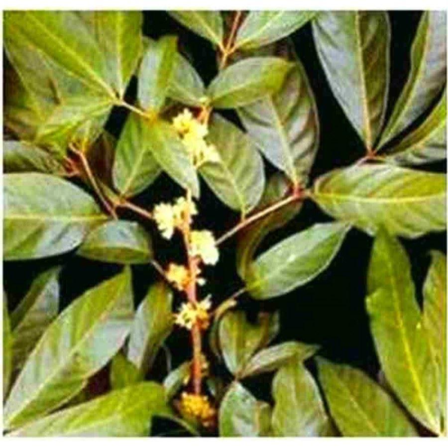 muira puama növény
