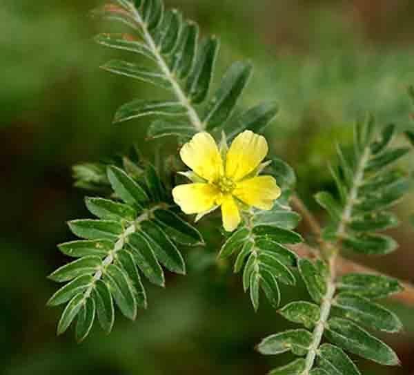 Tribulus Terrestris (királydinnye növény)
