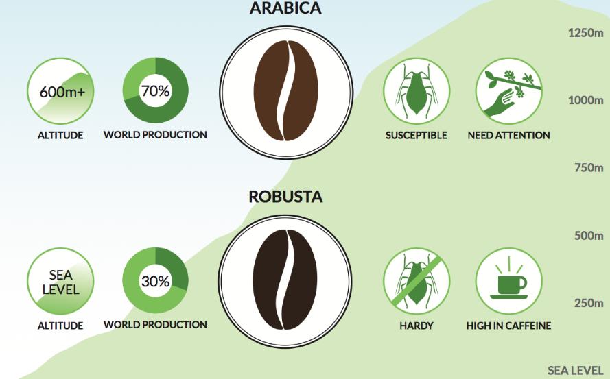 arabica robusta jellemzők