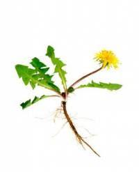 pitypang virág és gyökér